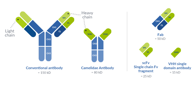 Conventional antibody VS Camelidae antibody : Camelidae antibody doesn't have light chain and have on its heavy chain VHH single domain antibody