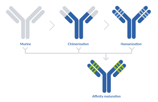 Representation of the distinctions between each type of antibody (including the affinity maturation)