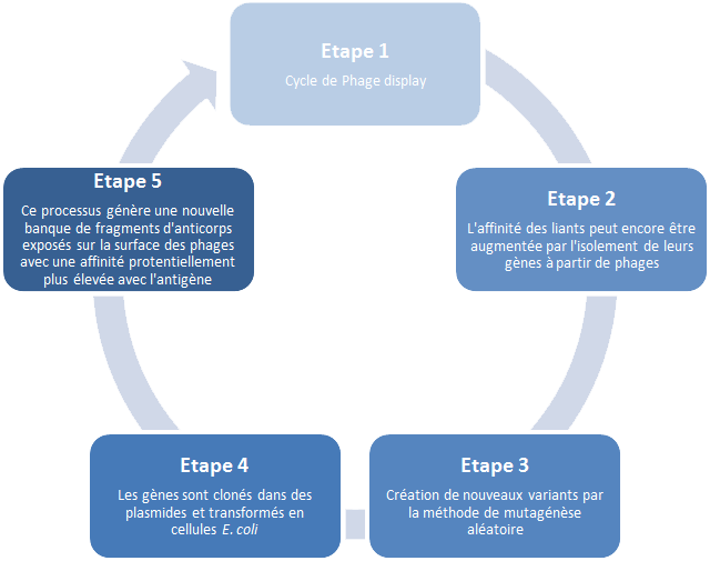 Etapes maturation d'affinité : cycle phage display, affinité des liants augmentée par isolement de leurs gènes à partir de phages, création de nouveaux variants mutagénèse aléatoire , gènes clonés et plasmides transformés E. coli, banque de fragments d'anticorps générée avec une affinité plus élevée avec l'antigène