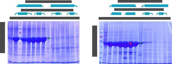 Protein expression gel