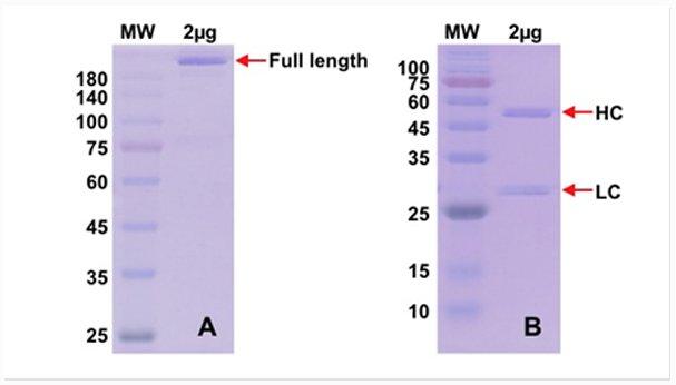 Recombinant antibody production QC