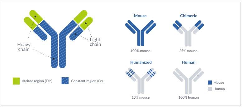 Monoclonal antibody humanization