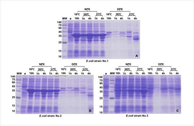 E. coli protein expression tests