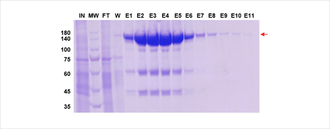 mammalian expression purification