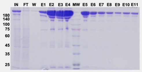 recombinant protein expression purification