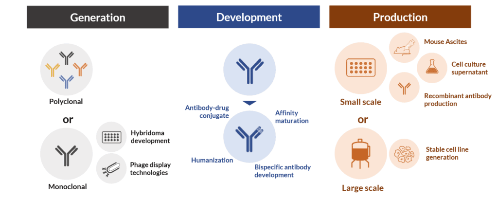 Antibody generation, development and production