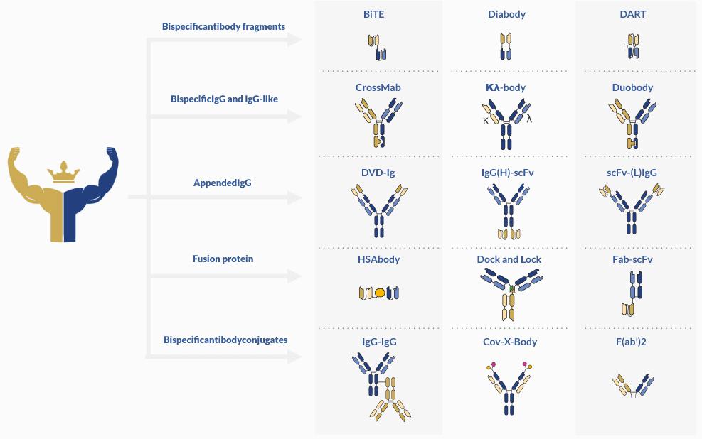 Bispecific antibody development