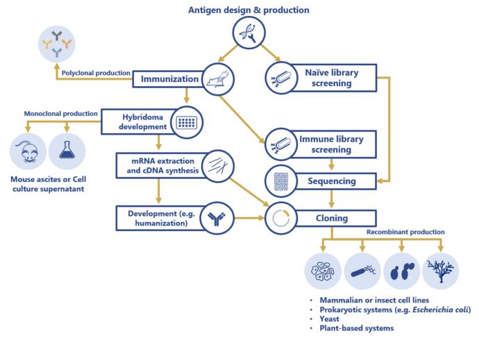 Antibody production steps