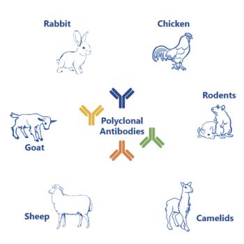 Polyclonal antibody production process