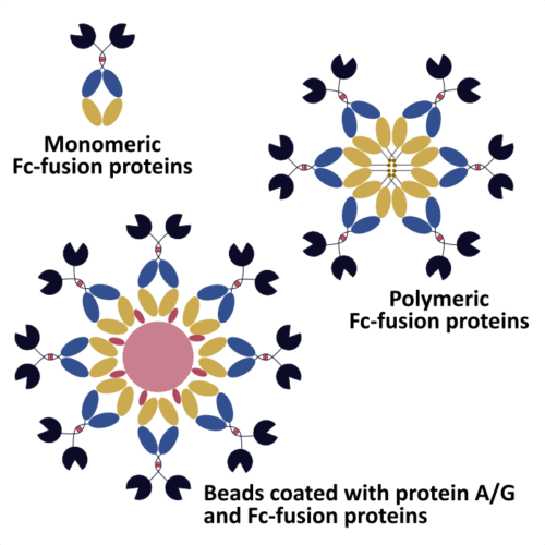 Use Recombinant Antibody Expression To Unlock The