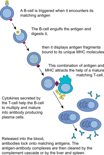Complete B cell activation