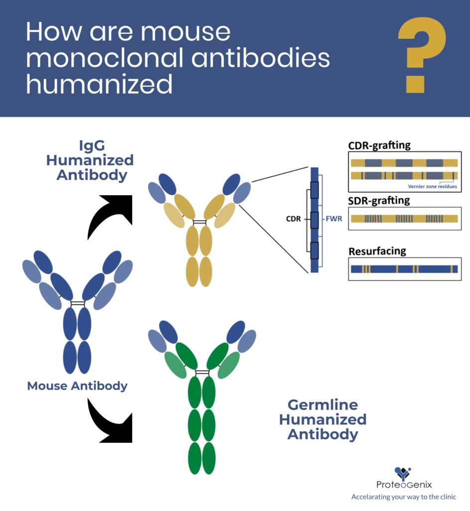 How are mouse monoclonal antibodies humanized