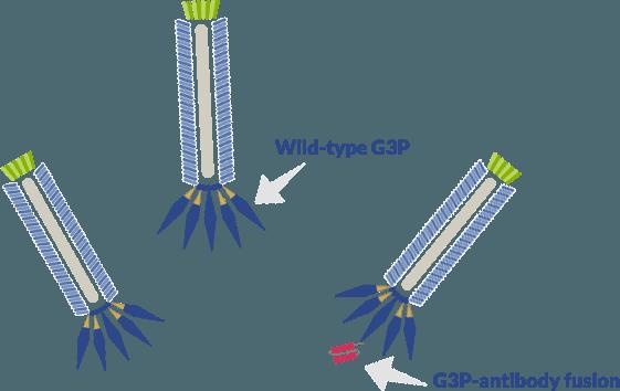 Wild type G3P versus G3P-antibody fusion in M13 phage