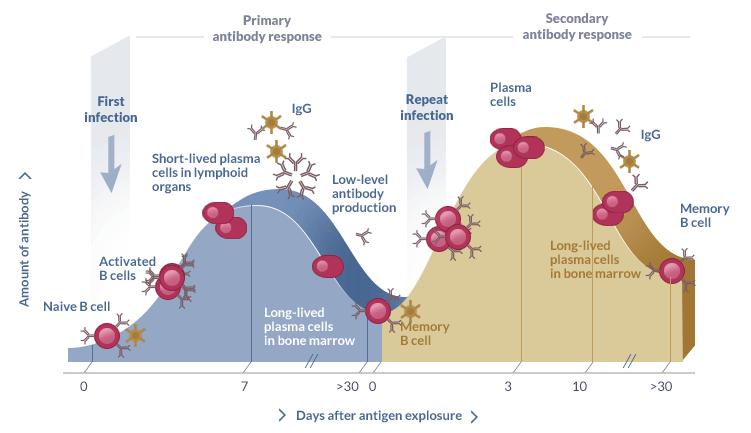 Primary and secondary antibody response