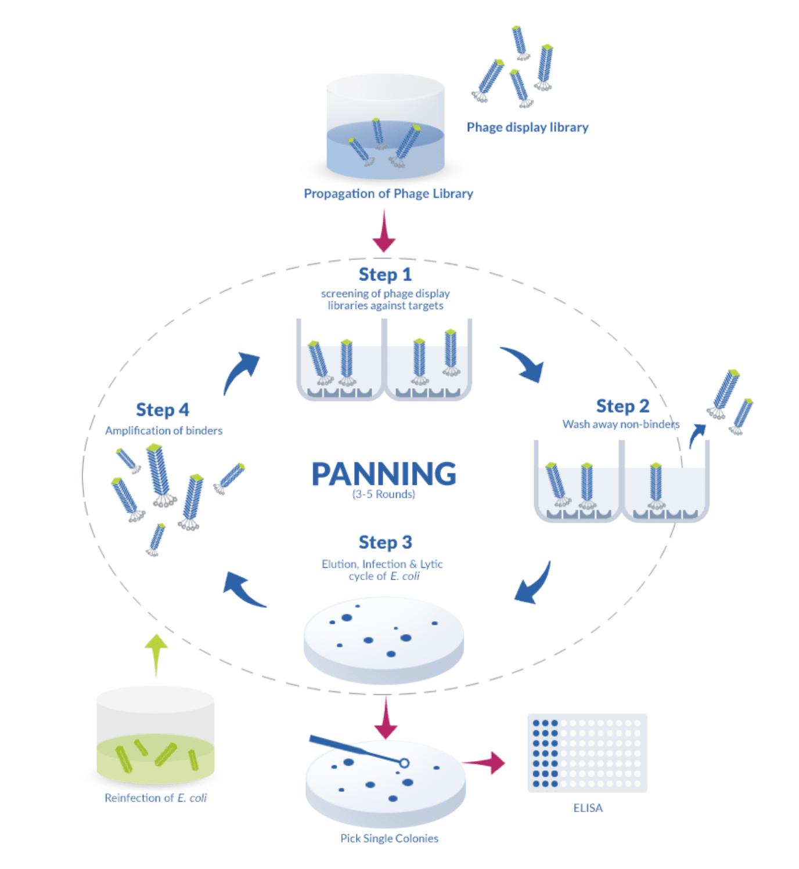 P0hage display cycle : panning biopanning steps
