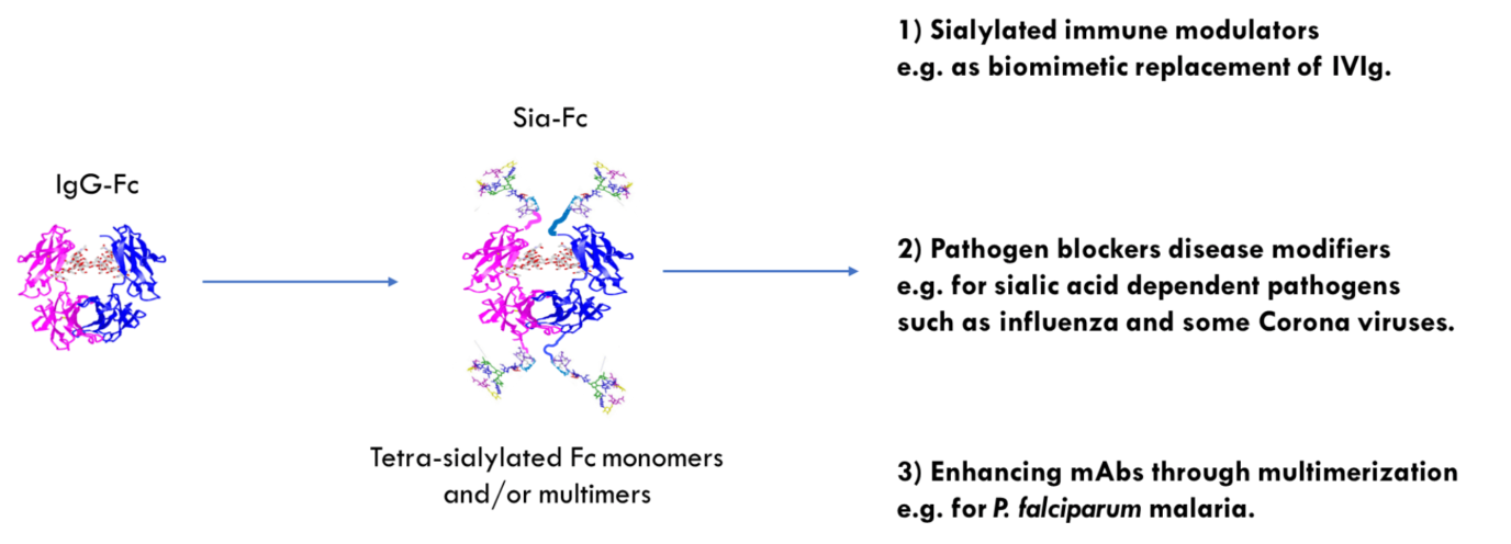 Therapeutic options for the glycan modified IgG-Fc